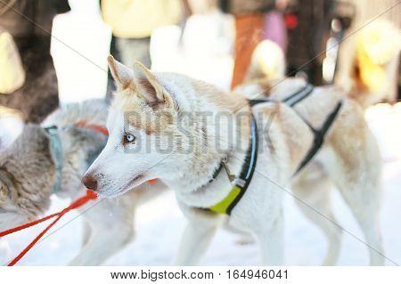 Sledding with husky dogs in Lapland Finland. Husky dog sledge