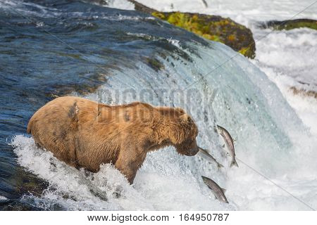 Alaskan Brown Bear Trying To Catch Salmon
