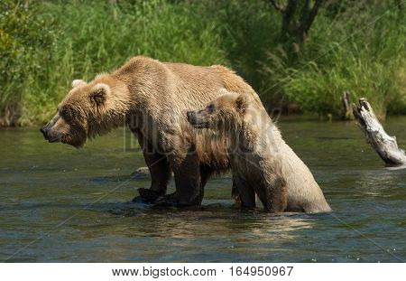 Alaskan Brown Bear Sow With Cub