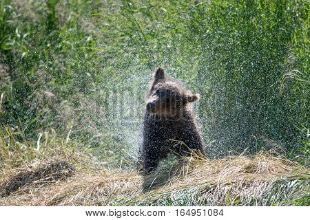 Alaskan Brown Bear Cub Shaking