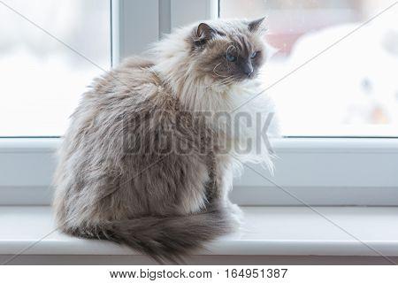 Neva Masquerade Cat Portrait