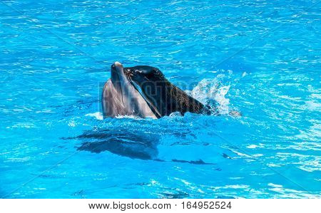 fur seal is riding on a dolphin playing in blue water