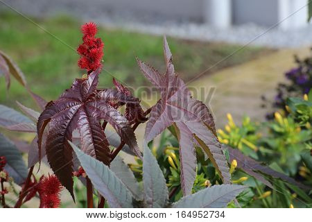 Leaves And Blossoms Of The Poisonous Castorbean (ricinus Communis)