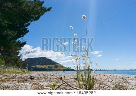 Beach scene Mount Maunganui across Tauranga Harbor from Matakana Island with suns rays falling across fluffy seedheads of beach vegetation