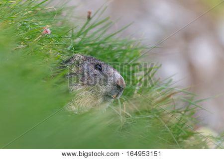 Alpine marmot (Marmota marmota) sticking out from a burrow. French Alps