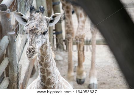 a baby giraffe being nosey at my local zoo
