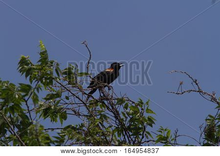 Red-winged blackbird singing in top of tree.