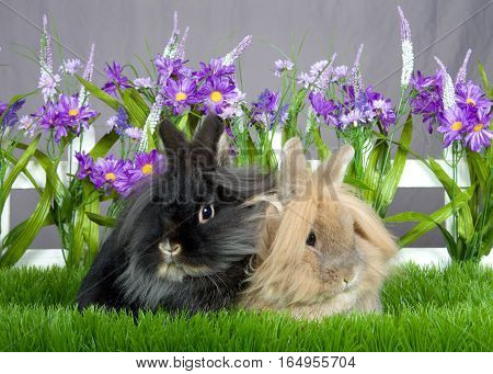 One small brown long hair bunny sitting next o one small black long haired bunny laying in green grass in front of a white picket fence with purple flowers by a gray wall