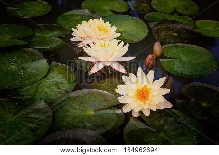 Watercolour painting of beautiful waterlily or lotus flower in pond.
