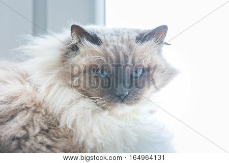 Neva masquerade cat portrait. Beautiful long haired siberian cat sitting on window.