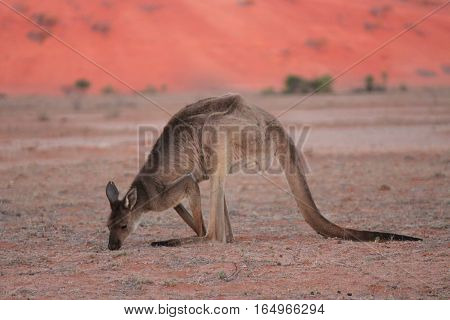 kangaroo at silverton in the Australian outback