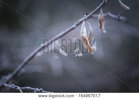 Lime Tree Twig With Rime