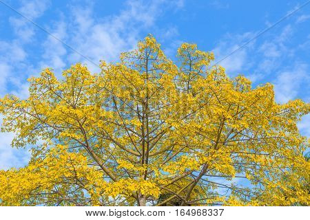yellowed leaves of poplar against the sky