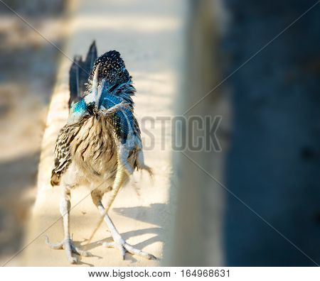 A Roadrunner stands its ground with a stunned Desert Spiny Lizard hanging from its beak. The lizard has an electric blue belly as it hangs in the sunlight.