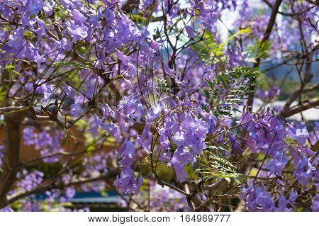 Blooming Jacaranda Tree With Purple Flowers