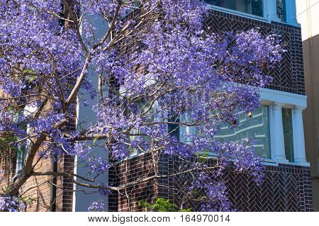 Blooming Jacaranda Tree With Building On The Background