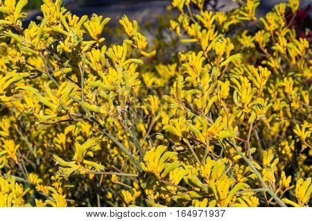 Blooming Kangaroo Paw Flowers