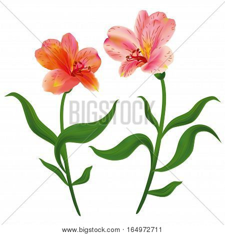Alstroemeria flowers with green leaves. Isolated white background.