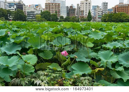 Lotus Field, Pond In Ueno Park, Tokyo