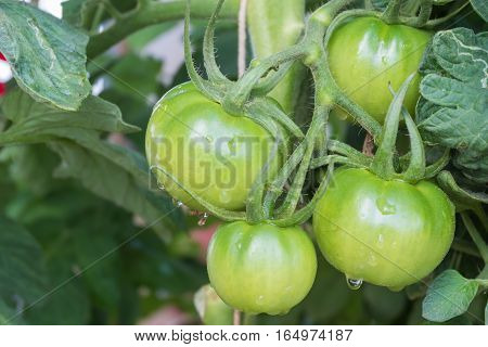 green tomatoes fresh on vine cose up