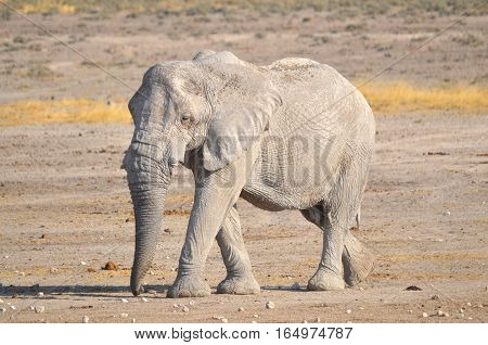 View of an elephant covered in white mud (Etosha National Park) Namibia Africa