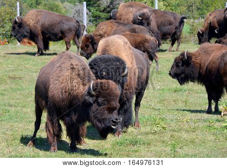 Bison are large, even-toed ungulates in the genus Bison within the subfamily Bovinae.