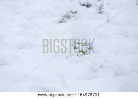 Small Pine Trees Under Snow.