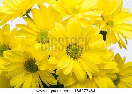 Close up of the yellow chrysanthemum flowers
