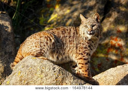 Bobcat Sitting On A Rock