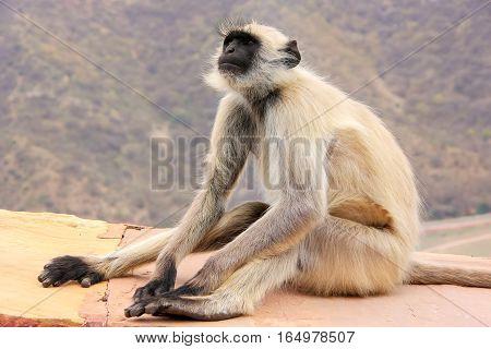 Gray Langur Sitting In Jaigarh Fort Near Jaipur, Rajasthan, India
