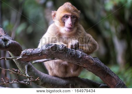 Monkey Forest - Grinning Infant