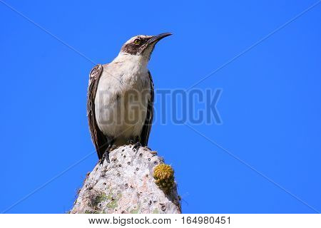 Galapagos Mockingbird Sitting On A Cactus, Genovesa Island, Galapagos National Park, Ecuador