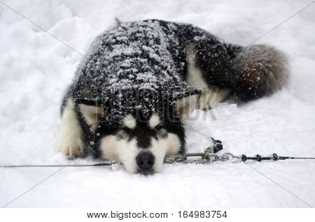 Siberian Husky sled from running on a halt
