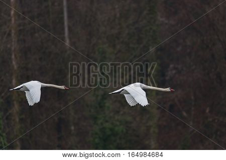 Two mute swans (cygnus olor) in flight