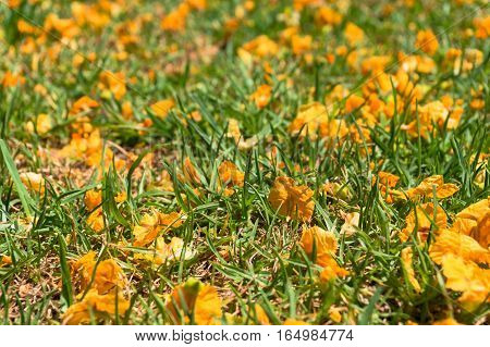 Green Grass Covered With Bright Yellow Acacia Flowers