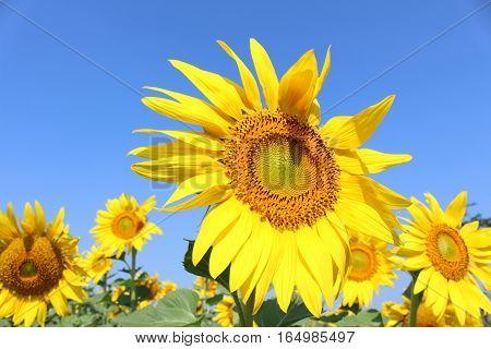 Big sunflower in sunny day in Thailand