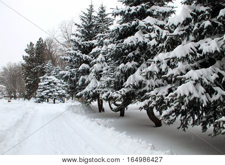 Fir trees covered with snow in the city park