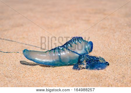 Blue Bottle Or Portuguese Man Of War Jellyfish Close Up