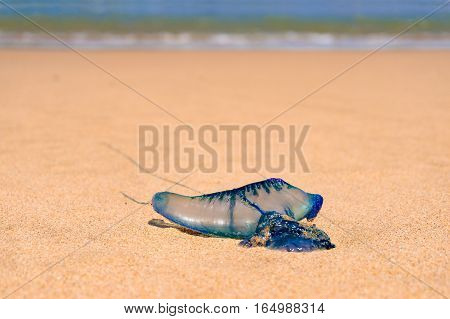 Close Up Of Blue Bottle Jelly Fish With Ocean Background