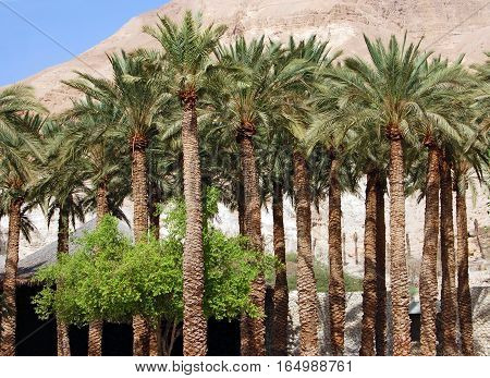 Palm Tree In Israel