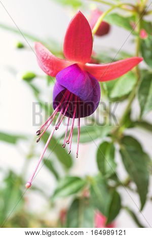 Closeup view of the colorful fuchsia flower. View from below. Vertically.