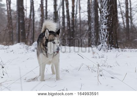 Husky on a walk. Siberian husky stands in a snowy forest.