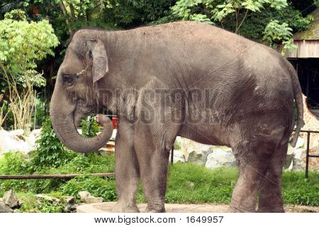 An asian elephant at the Malaysian National Zoo . poster
