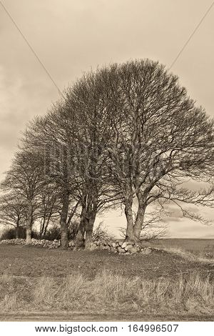 Black and white shot of Trees at a drystone wall at fall