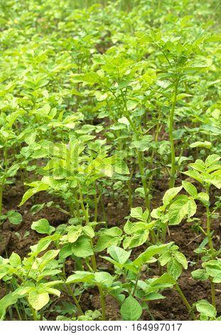 Many green potato bushes grows on garden land close up