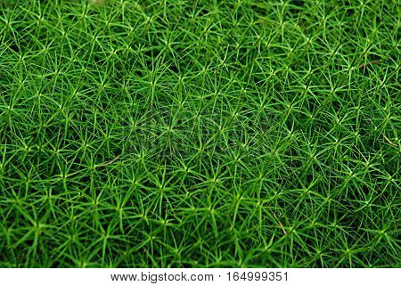 Background, natural texture, green moss fluffy in the forest