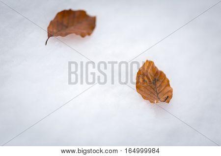 Beech Leaves Lying On White Snow
