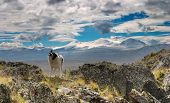 Dog on the mountain pass, plateau Ukok, Altai mountains poster