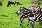 Some zebras with one showing teeth Ngorongoro crater in Tanzania poster