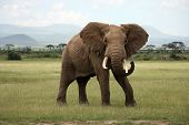 Big african elephant in Amboseli national park Kenya poster